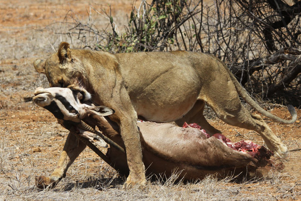 Lion with oryx prey. Photo by: Ewaso Lions.