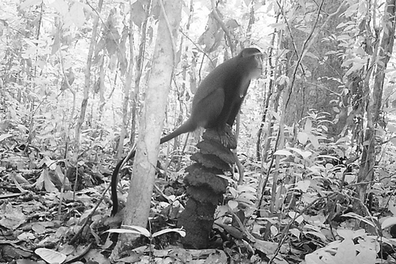 Camera trap photo of new species of monkey from TL2 region: the lesula. Here the monkey strikes was Peet says is a characteristic pose on a termite mound. Photo courtesy of Terese Hart.