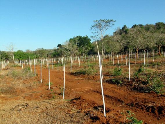 Gliricidia plantation in elephant habitat. Photo courtesy of the Environmental Foundation Limited (EFL).