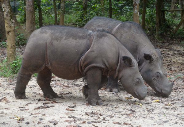 Andatu (one year old) and his mother, Ratu, at the Sumatran Rhino Sanctuary. Photo by: Bill Konstant.