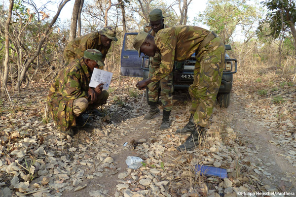 Rangers collect genetic samples from lion scat in Niokolo-Koba National Park, Senegal, during Panthera's survey of the park in 2011. Photo by: Philipp Henschel/Panthera.