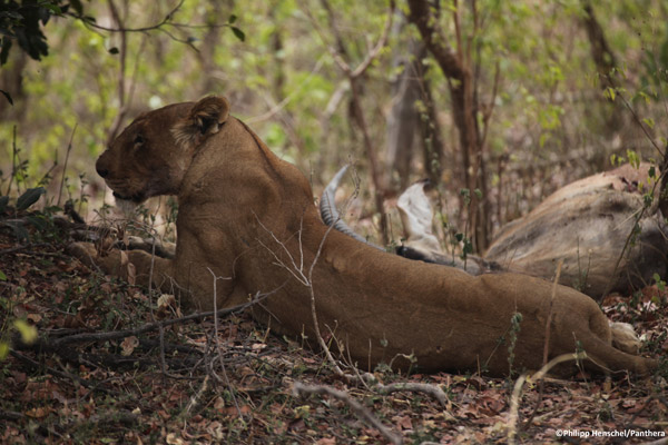 A female lion with a roan antelope kill in Benin's Pendjari Natl Park during Panthera's survey of the W-Arly-Pendjari Complex in Benin, Burkina Faso, and Niger. Photo by: Philipp Henschel/Panthera.