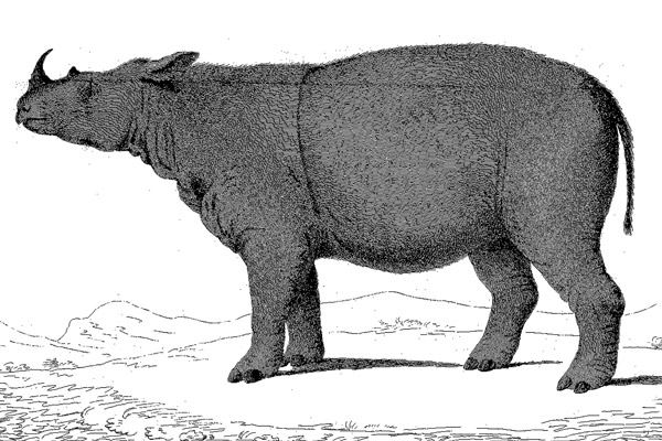 Full body illustration of Sumatran rhino. Illustration by: William Bell 1793.