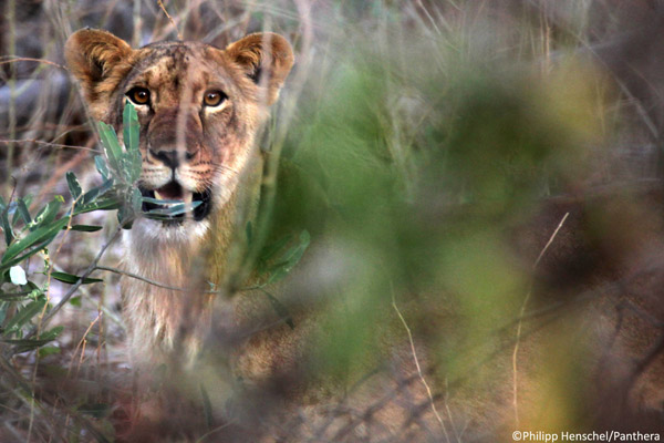 Henschel has a rare encounter with a lion cub, estimated at 8-10 months old, in Nigeria's Yankari Game Reserve. Photo by: Philipp Henschel/Panthera.