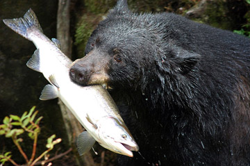 The American black bear is the world's only bear species whose population is on the rise. Photo by: Public Domain.
