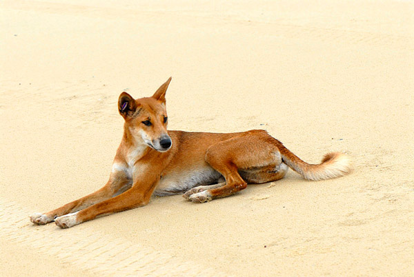 Dingo en Isla Fraser. Foto: Sam Fraser-Smith.