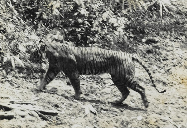 The Javan tiger, a distinct subspecies, went extinct in the 1970s. Photo by: Public Domain.