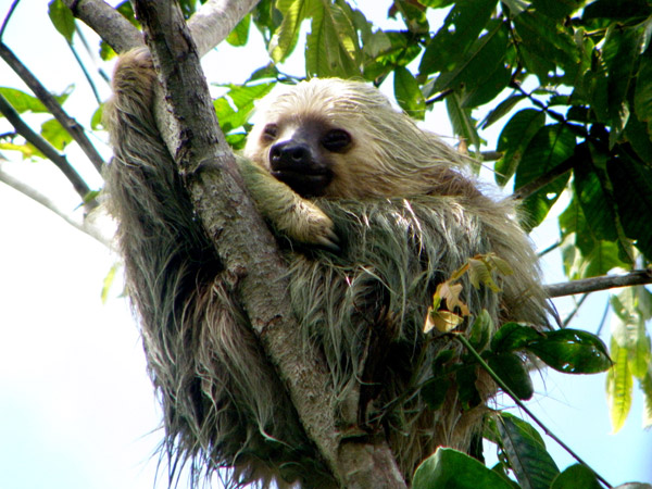 Two-toed sloth hanging out in tree plantation five years after planting began. Photo by: J.L. Reid.