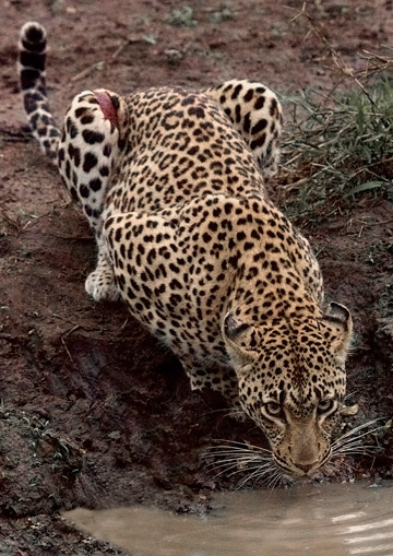 Over 75 percent of large predators declining