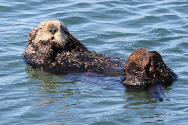 Sea otters play a major role in the health of kelp forests. Photo by: Norman S. Smith.
