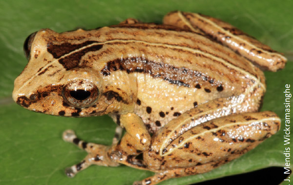 Not seen in over 130 years, 'extinct' frog rediscovered in Sri Lanka