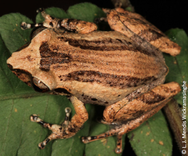 The rediscovered Pseudophilautus hypomelas is easily distinguished by markings on its back. Photo by: L.J. Mendis Wickramasinghe.