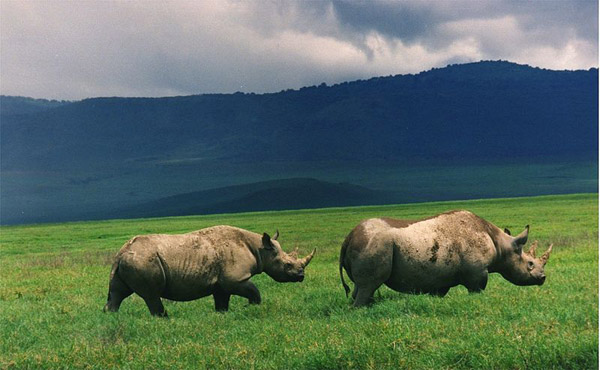 A pair of black rhinos in Tanzania. Photo by: Brocken Inaglory.