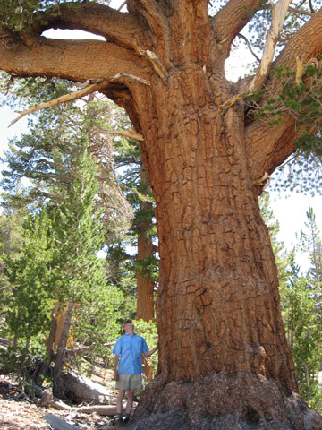 Large western white pine (Pinus monticola) in California's Sierra Nevada mountain range. Photo by: Rob Hayden.