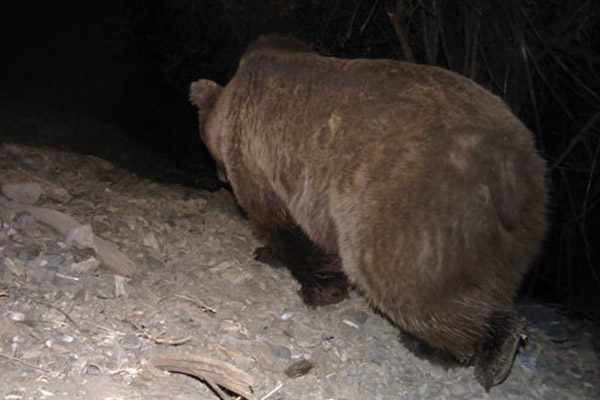 A Himalayan brown bear, one of several predators with which the snow leopard shares its home, in Uzbekistan's Gissar Nature Reserve. The subspecies is considered Endangered. Photo by: ©Y. Protas/Panthera/WWF Central Asia Program/Uzbek Biocontrol Agency/Gissar Nature Reserve.