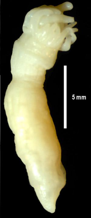 Close up of Edwardsiella andrillae. Photo courtesy of Daly et al.