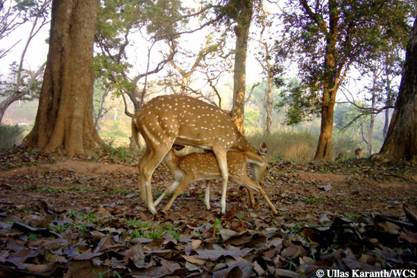 Chital mom and fawn. Photo by: Ullas Karanth/WCS.