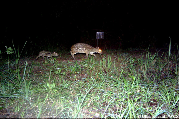Mousedeer and fawn. Photo by: Ullas Karanth/WCS.