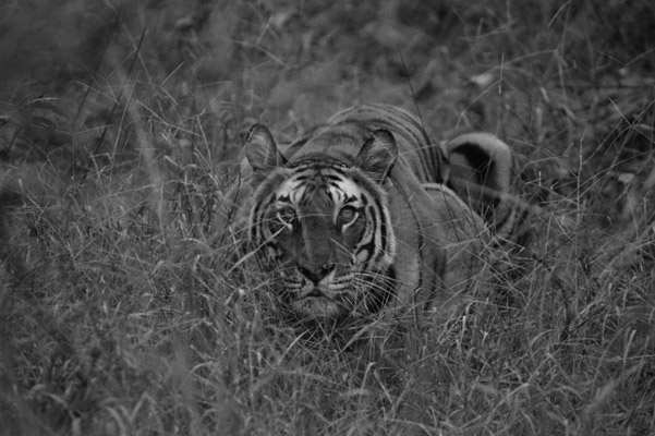 Tigress. Photo by: Cyril Christo and Marie Wilkinson.