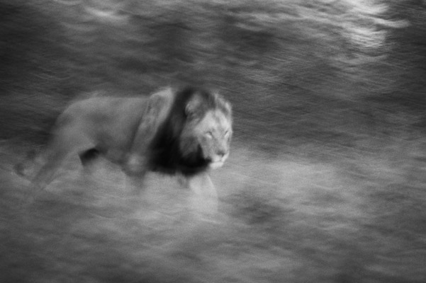 Lion. Photo by: Cyril Christo and Marie Wilkinson.