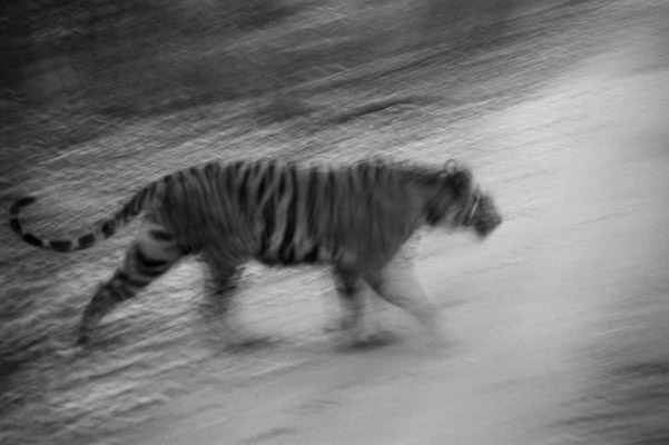Tiger. Photo by: Cyril Christo and Marie Wilkinson.