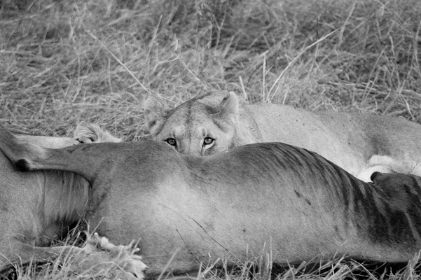 Lioness feeding. Photo by: Cyril Christo and Marie Wilkinson.