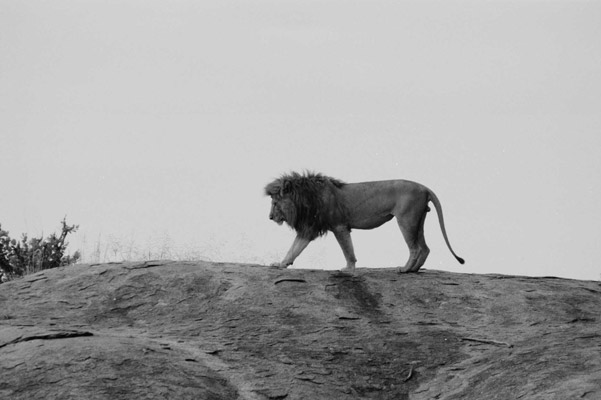Male lion. Photo by: Cyril Christo and Marie Wilkinson.