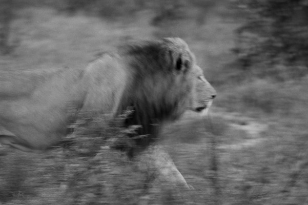 Lion in the Okavango Delta. Photo by: Cyril Christo and Marie Wilkinson.