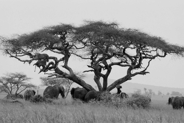 African scene: elephants and lions. Photo by: Cyril Christo and Marie Wilkinson.