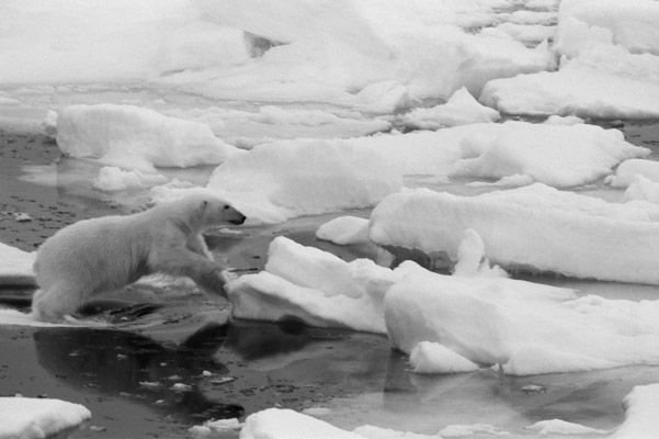 Polar bear jumping ice floes. Photo by: Cyril Christo and Marie Wilkinson.