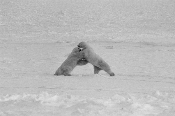 Polar bears. Photo by: Cyril Christo and Marie Wilkinson.
