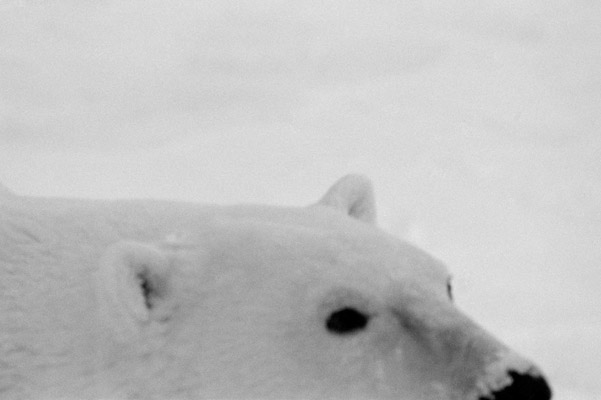 Polar bear. Photo by: Cyril Christo and Marie Wilkinson.