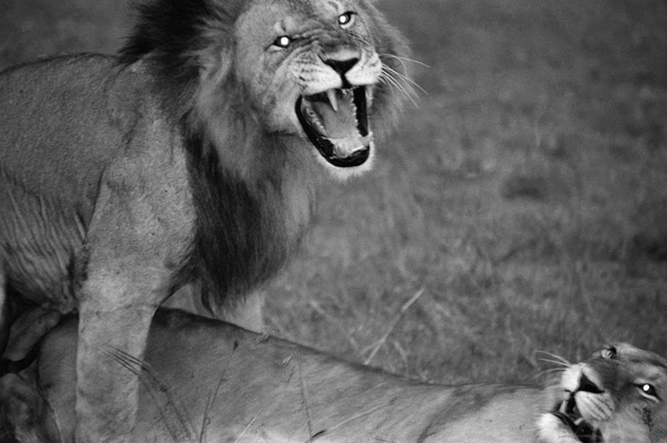 Lions. Photo by: Cyril Christo and Marie Wilkinson.