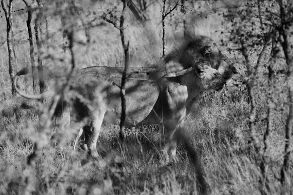 Lions side-by-side. Photo by: Cyril Christo and Marie Wilkinson.