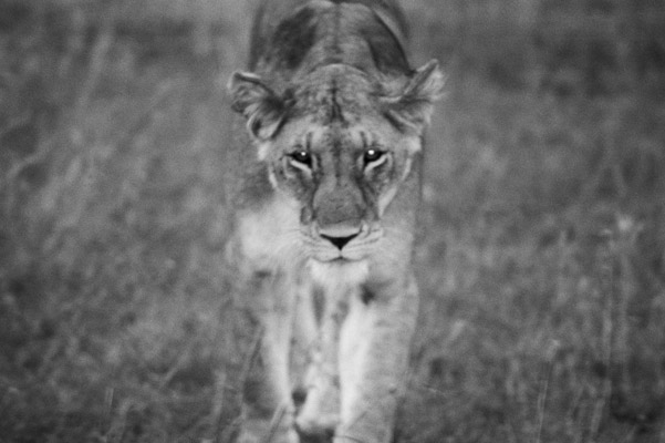 Lioness. Photo by: Cyril Christo and Marie Wilkinson.
