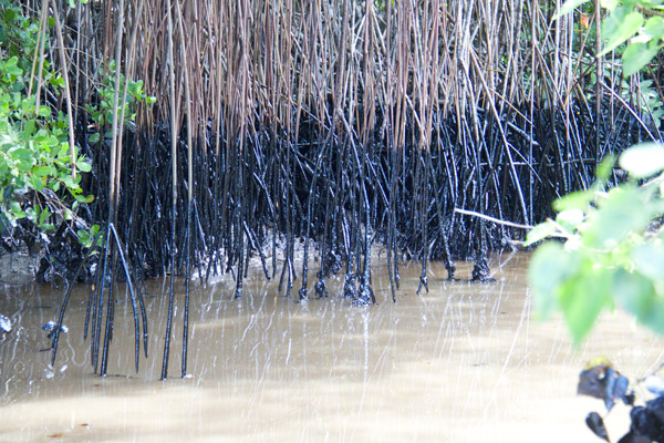 Mangroves stricken by the oil spill. Photo by: Marc de Verteuil.