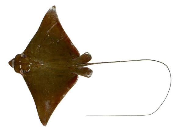 ナルトビエイのメスの幼魚。写真:White et al