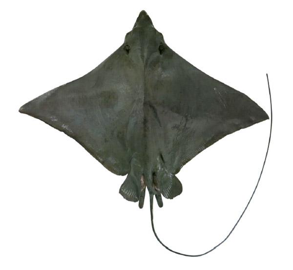 ナルトビエイのオスの成魚。写真:White et al