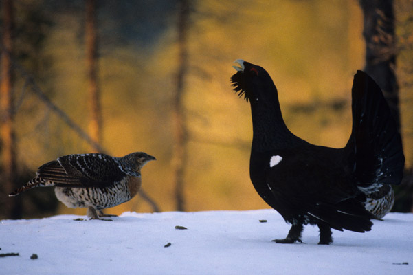 A capercaillie cock trying to impress the hen with his singing abilities. Photo by: Lars Løfaldli.