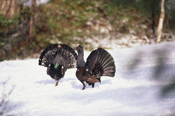 The singing contest between capercaillie cocks often grows into a physical fight on the ground. Earning the hen's attention is worth all their efforts. Photo by: Lars Løfaldli.