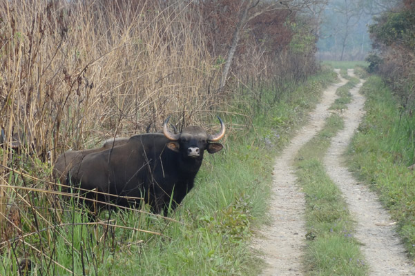 Gaur in Chitwan National Park. This species is listed as Vulnerable by the IUCN Red List. Photo by: Grzegorz Mikusinski.