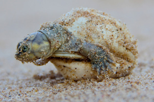 Photos: mass turtle hatching produces over 200,000 babies