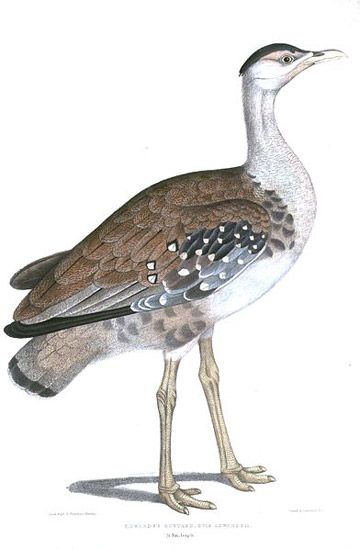 Great Indian bustards used to be common in India's plains. Today there may be fewer than 250 left. Illustration by Thomas Hardwicke.