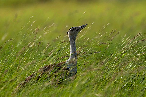 Tracking one of the world's last Great Indian Bustards to save the species