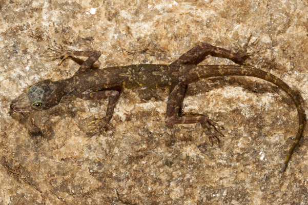 Scientists discover new gecko hanging-on in single forest fragment