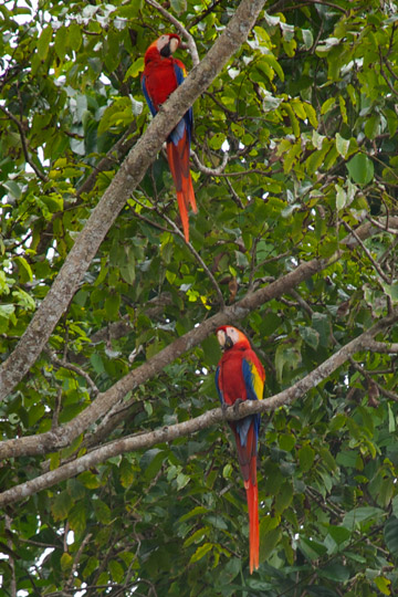 Scarlet macaws, Drake Bay, Costa Rica. Photo courtesy of the Kraft family.