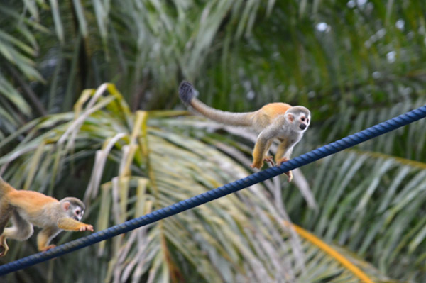 A squirrel monkey crossing a blue rope monkey bridge, put up by Kids Saving The Rainforest, near Manuel Antonio National Park, Costa Rica. Photo courtesy of the Kraft family.