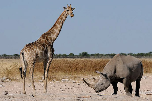 A black rhino and giraffe in Namibia's Ethosha National Park. It is here where Knowlton will hunt the selected rhino. Photo by: Brocken Inaglory