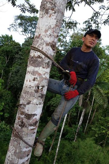 Carnegie botanist Felipe Sinca is high in an Amazonian tree canopy. Photo by Greg Asner.
