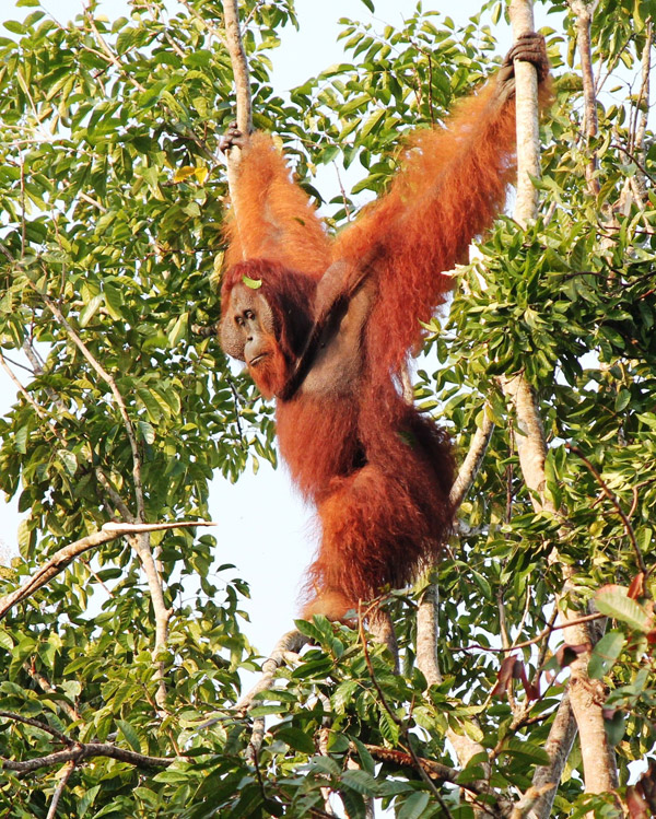 Seeing wild orangutans in the forest is always an incredible experience. This adult male came and had a look at the camp of one of better managed oil palm concessions in Kalimantan. Photo by Nardiyono.